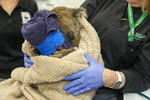 Annie the koala gets her bandages changed