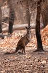 Kangaroo in Lathami Conservation Park.
