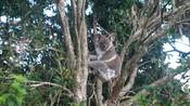 Koala in Swan Bay, NSW