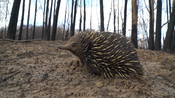 Echidna in burnt out forest