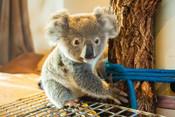Ipswich Koala Protection Society - Koala carers