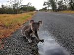 Koala drinking water off the road near Mackay, Queensland