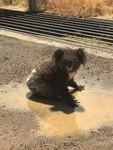 Koala in puddle, Gunnedah, New South Wales